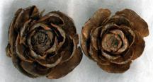 Wood Rose